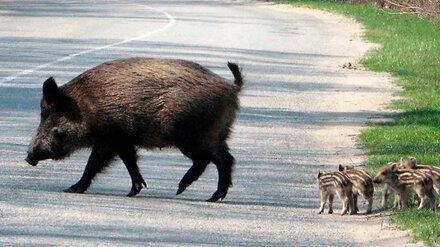 Воронежские водители стали чаще сбивать диких животных на трассах