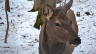В Воронежскую область впервые привезли более 50 благородных оленей из Венгрии