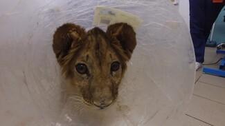 Был истощён и почти ослеп. В Воронеже вылечили спасённого от контрабандистов львёнка