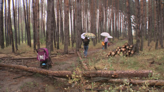 Воронежцы пожаловались на незаконную вырубку сосен в Придонском