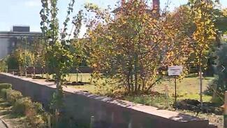 В центре Воронежа появилась ещё одна кленовая аллея