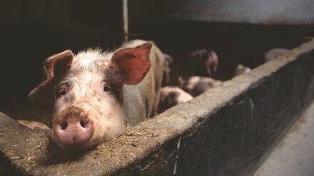 В Воронежской области уничтожат более 500 свиней из-за вспышки африканской чумы
