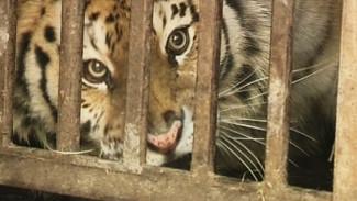 Невероятная история воронежских приключений беглого тигра Шерхана