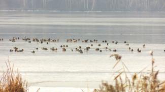 Потепление спасло вмёрзших в лёд Воронежского водохранилища уток и лебедей