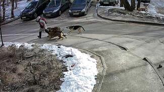 Воронежский СК заинтересовался нападением стаи бродячих собак на школьницу
