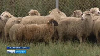Фермер из Хохольского района восстанавливает исконно воронежскую породу овец