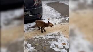 В Воронеже попытаются спасти вышедшего к людям раненого лисёнка