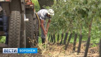 Бросили в 90-х. Как в Воронежской области возрождают яблоневые сады