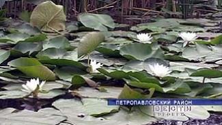 На озерах Петропавловского района цветут нимфеи
