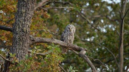 В Воронежском заповеднике обнаружили не встречающуюся в регионе сову