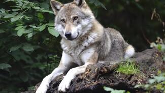 В Воронежской области вдвое выросла популяция волков