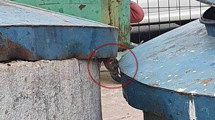 Воронежская УК объяснила нашествие крыс во дворах на Шишкова