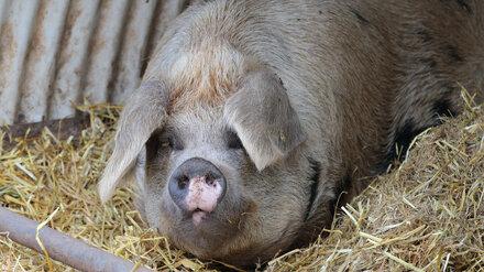 Новый очаг АЧС выявили в свинарнике в Воронежской области
