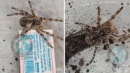Воронежцы сообщили о появившихся в регионе южнорусских тарантулах