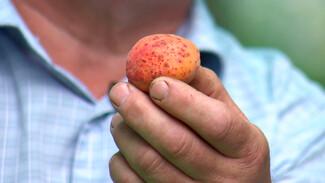 Воронежский агроном рассказал о борьбе с распространённой болезнью абрикосов