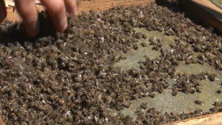 Эксперты назвали причину массовой гибели пчёл в Воронежской области