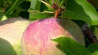 Яблоневые сады и химический завод. Как в Россоши борются с монозависимостью