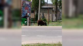 Очевидцы: под Воронежем медведя посадили на привязь рядом с цирком-шапито ради рекламы