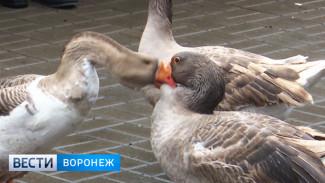 До первых перьев. В Воронежской области устроили гусиные бои
