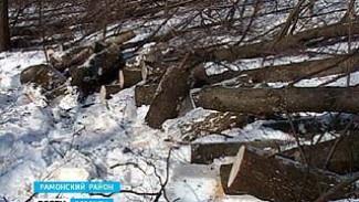 В селе Ивница под Рамонью неизвестные дровосеки вырубают лес