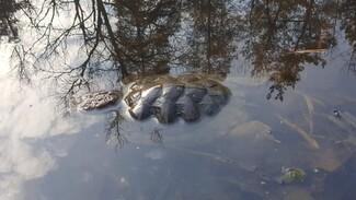 Власти начали проверку массовой гибели черепах на уникальном воронежском озере