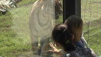 В Воронежском зоопарке выпустили в вольер главную гордость – тигрицу