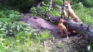 Лесные камеры в Воронежском заповеднике сняли детёнышей диких зверей крупным планом