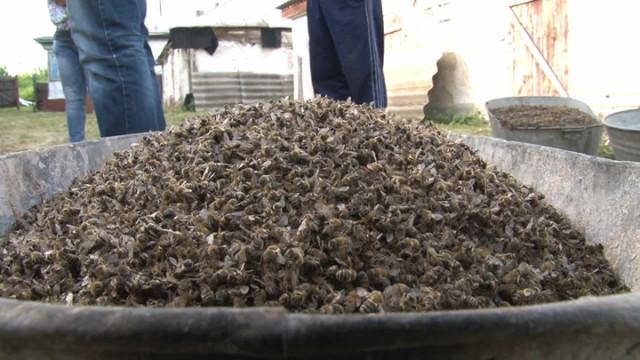 Мёртвых собирали вёдрами. В нескольких районах Воронежской области от яда погибли все пчёлы