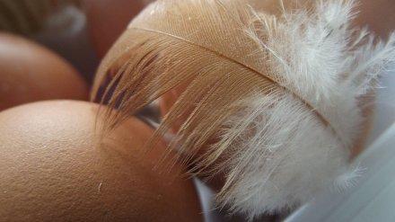 Воронежцам рассказали об опасности птичьего гриппа после вспыхнувшей на фабрике инфекции