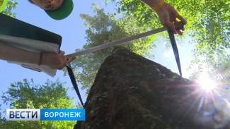 В Воронеже снова вырубят десятки ясеней из-за опасного вредителя
