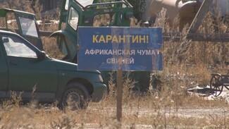 В районе Воронежской области из-за АЧС убьют 34 тыс. свиней