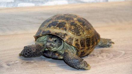 Впервые за долгие годы в Воронежском зоопарке среднеазиатская черепаха снесла яйцо