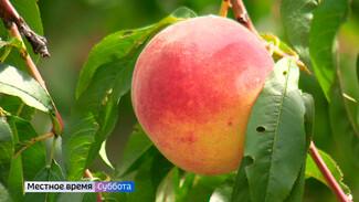Воронежский агроном рассказал, как вырастить хороший урожай персиков