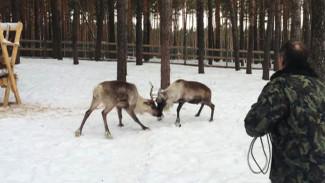 Воронежский олень и невеста из тундры чуть не подрались при встрече