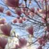 В Воронеже зацвёл сад разноцветных магнолий