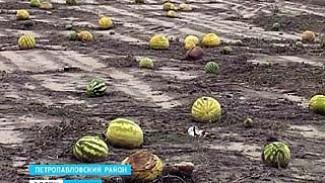 Тонны арбузов в Петропавловском районе тракторами зароют в землю