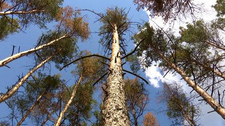 Для создания проекта благоустройства Северного леса в Воронеже начали поиск подрядчика