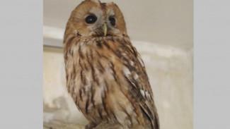 В Воронеже зоозащитники откормили и выпустили на волю сову