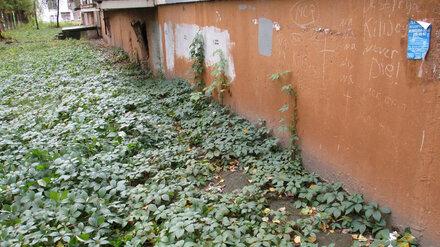 Стена многоэтажки в Воронеже поросла диким виноградом и плесенью
