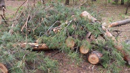 В Воронеже у Северного леса незаконно вырубили здоровые деревья
