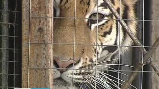 Нелегкая это работа - переселить тигрицу из старого вольера в новый