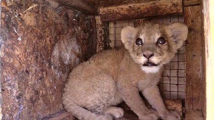 Вылеченному в Воронеже львёнку удалили глаза в Волгограде и отправили в цирк