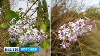 Под Воронежем второй раз в году зацвела сирень