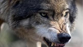 На ферму в Россошанском районе напала стая волков