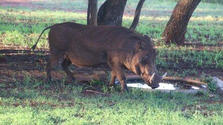 Карантин по африканской чуме свиней в районе Воронежской области сняли досрочно