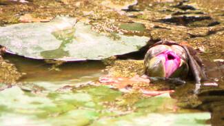 Недавно посаженные лилии в пруду Воронежского центрального парка потемнели и заросли тиной