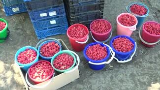 Жители воронежского посёлка сообщили о небывалом урожае малины
