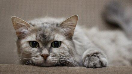 Чудом выжившую после смерти хозяйки кошку попросили приютить в Воронеже
