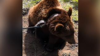 Привязанная у дороги под Воронежем медведица ранее сбегала из цирка-шапито