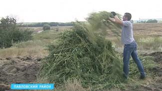 В Воронежском регионе уничтожают дикорастущие коноплю и мак
